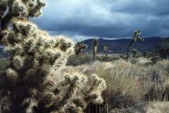 Joshura Tree Cactus